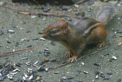 This little guy would race up from the woods to stuff his cheeks full of sunflower seeds, then race back to his den to drop them off.