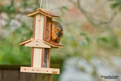 Squirrel and bird's feeder.