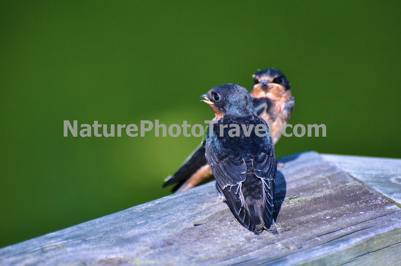 """""""Conversation"""" Barn Swallows. A familiar inhabitant of barns and other outbuildings, the Barn Swallow is easily recognized by its long forked tail. It was originally a cave breeder, but now the swallow nests almost exclusively on man-made structures."""