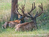 Elk bucks; best viewed in the largest sizes