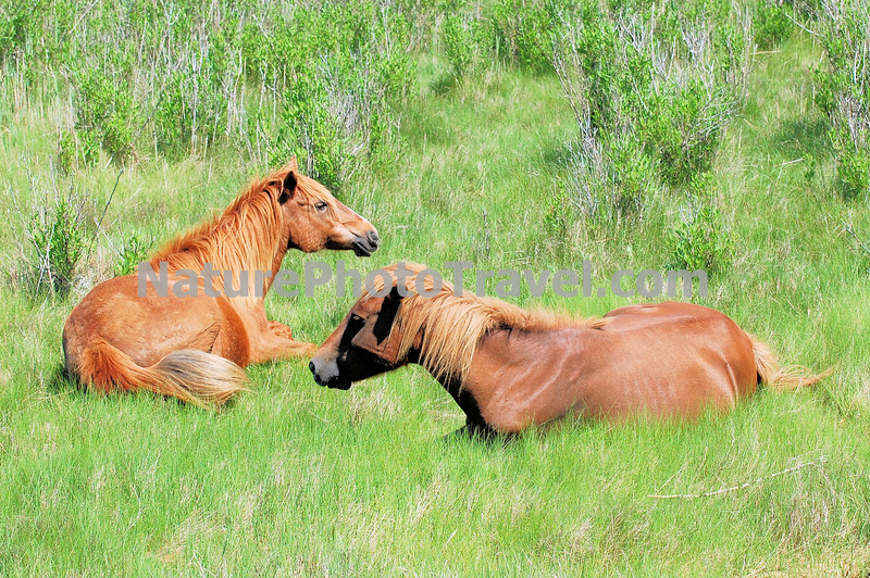 Chincoteague Ponies - Mares