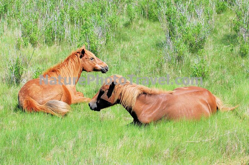 Chincoteague Ponies - Mares
