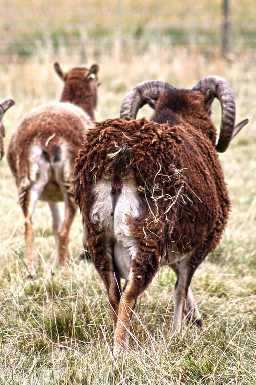 Soay sheep.
