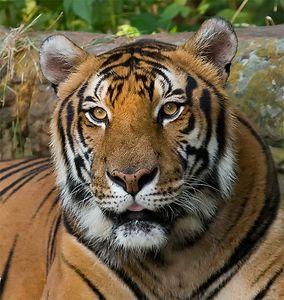 Rocky, Siberian Tiger, Pug Mark Park