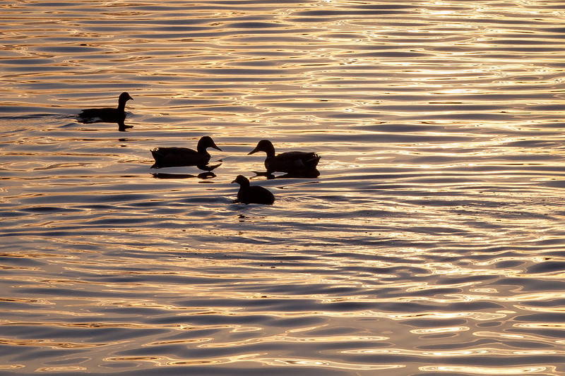 Four Winter Ducks on Lake Merritt, Oakland CA
