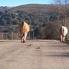 Vaca en una carretera de La Rioja