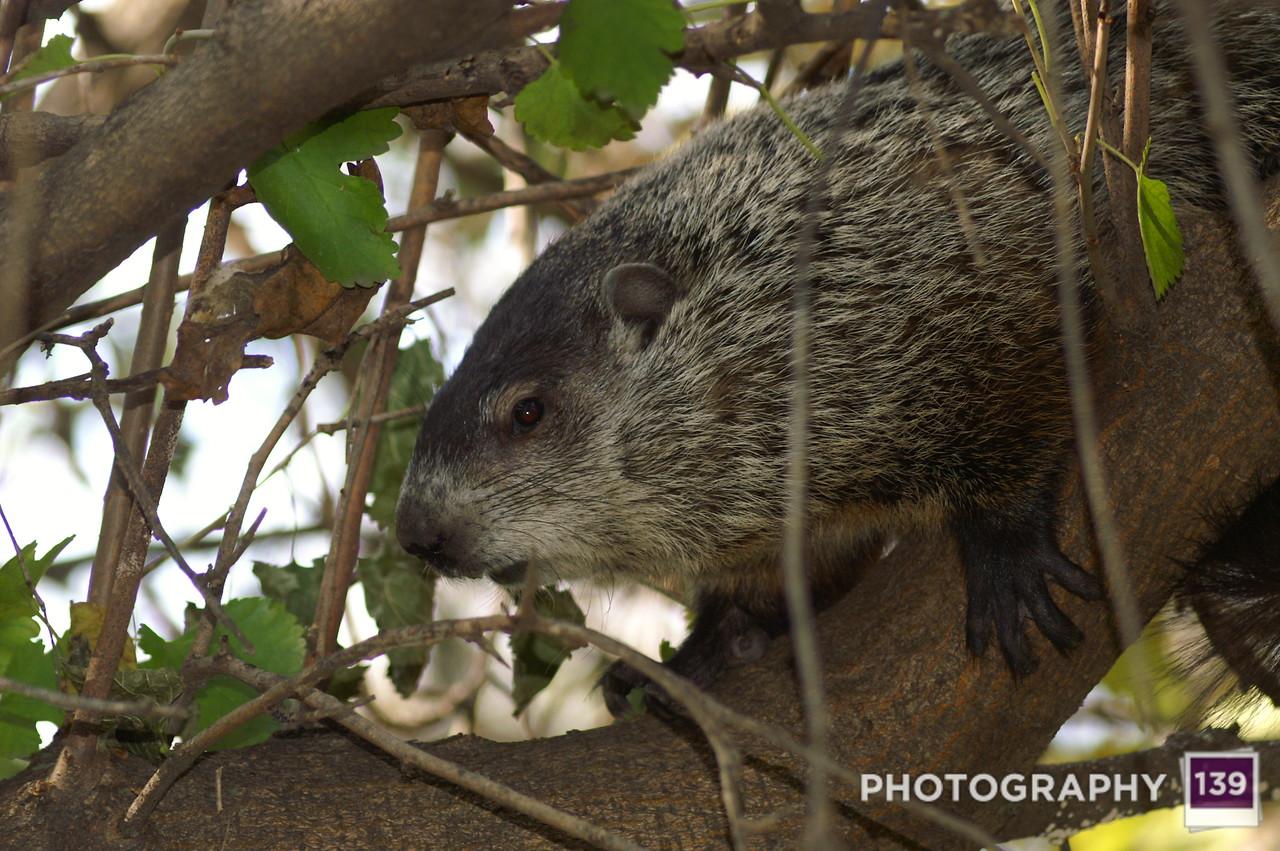 Groundhog Steve