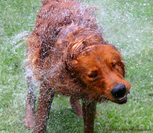 """January 14th, """"Hurricane Connor"""". This is Connor, one of our 3 Goldens, shaking it off after a dip."""