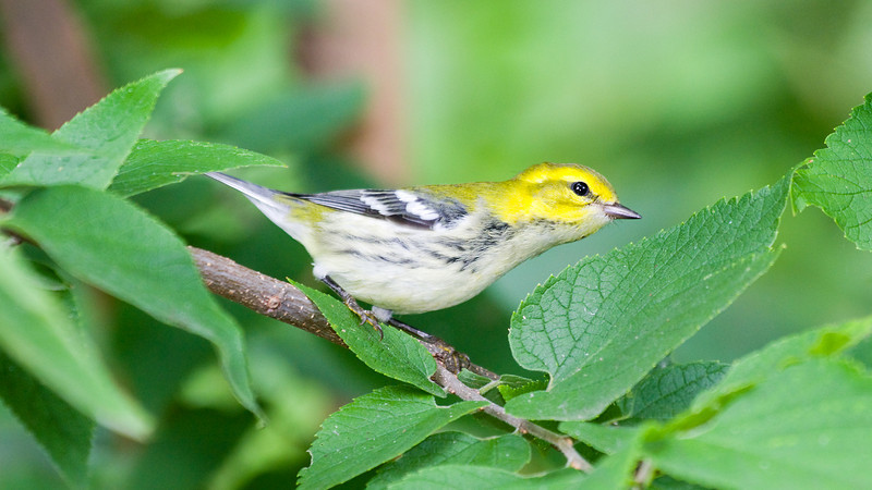 Immature Black-throated Green Warbler