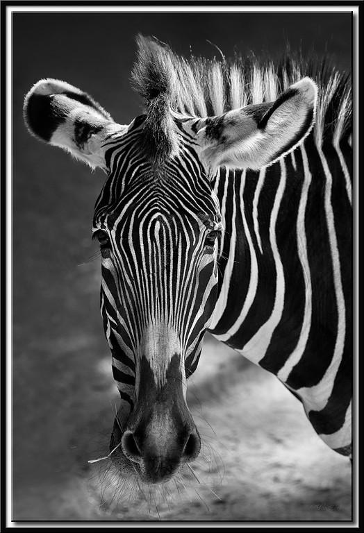 Kauendes Zebra, Wilhelma Stuttgart