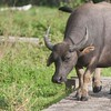 Water Buffalo on the path