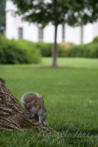White House Squirrel
