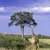giraffe on the Masai Mara
