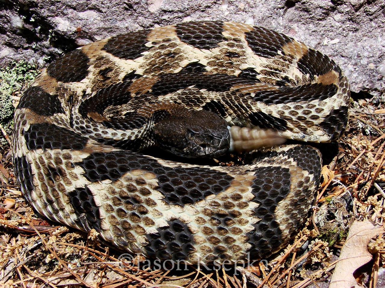 Crotalus horridus horridus, Timber Rattlesnake; Passaic County, New Jersey  2007-07-07  #47