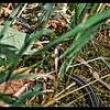 Snaky Sunbath: Northwestern Garter Snake—Thamnophis ordinoides