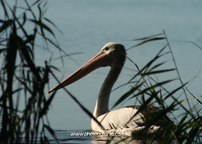 Pelican catching the late afternoon sun, Tea Gardens, Port Stephens, New South Wales, Australia.  See more photos in the archive