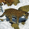 Leopards do not like snow