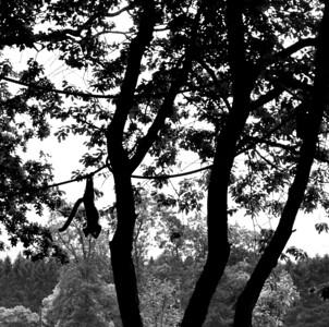 Lemur dangling in the trees