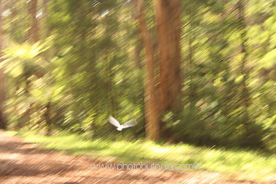 Cockatoo in flight. Dandenong Ranges, Victoria, Australia  See more photos in the archive