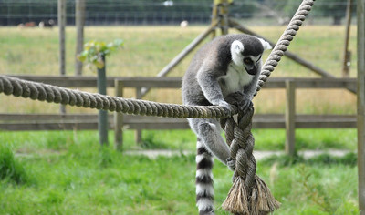 Brown lemur climbing on a rope