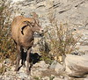 Mountain Sheep Ram