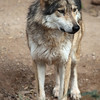 Mexican Gray Wolf, AZ