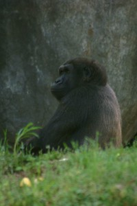 One of the silverback gorillas at Zoo Atlanta.