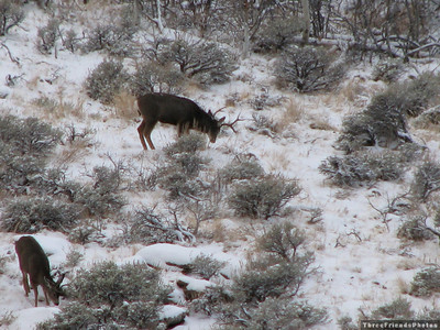 Mule Deer in Lamoille Canyon, Elko, Nevada