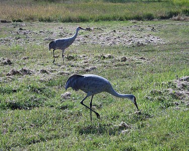 Another shot of the sandhill cranes in the Locke's backyard in Deltona, Fl.
