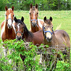 4 horses cropped