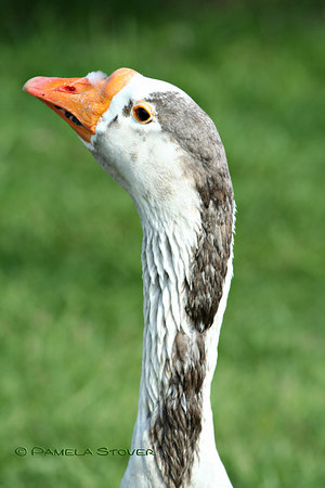Geese <br /> © Pamela Stover <br /> Exposed Images Photography