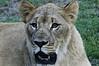 Lioness Houston Zoo