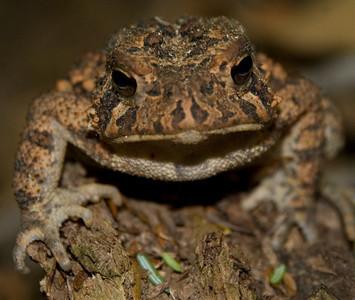 Adirondack Amphibian  (New York)