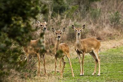 White Tail Deer at Aransas NWR