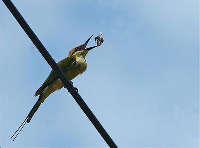 Green Bee-eater (Merops orientalis)  Phu Noi Beach, Thailand