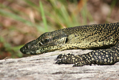 Lace Monitor, Fraser Island, Queensland, Australia  See more photos in the archive
