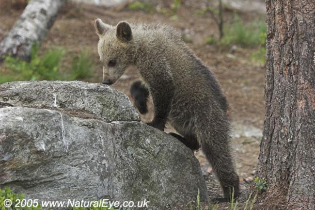 European Brown Bear cub, Martinselkonen, Finland