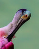 Roseate Spoonbill Head Shot