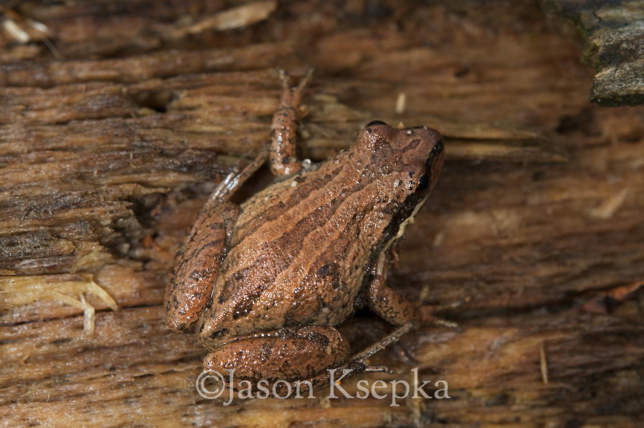 Pseudacris kalmi, New Jersey Chorus Frog; Cape May County, New Jersey 2008-12-18 11