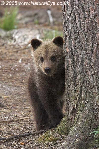 European Brown Bear cub, Martinselkonen, Finland