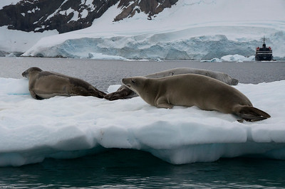 Crab Eater Seals resting on an iceburg