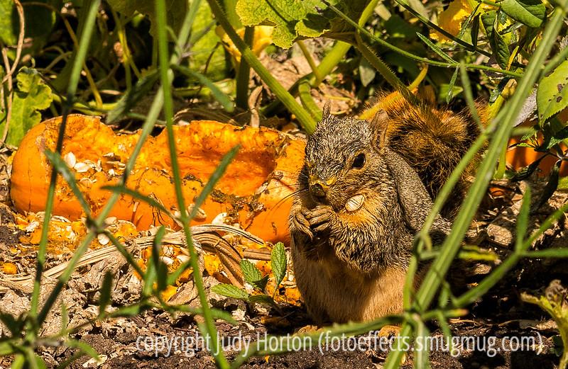 Squirrel Having a Pumpkin Feast