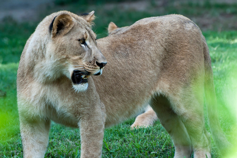 Lioness and Green