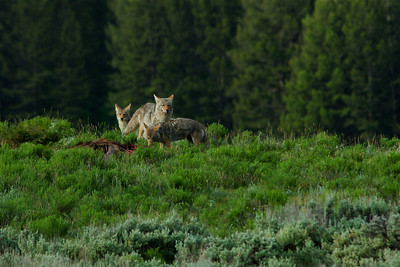 Coyotes on a kill (probably not theirs) in Yellowstone.