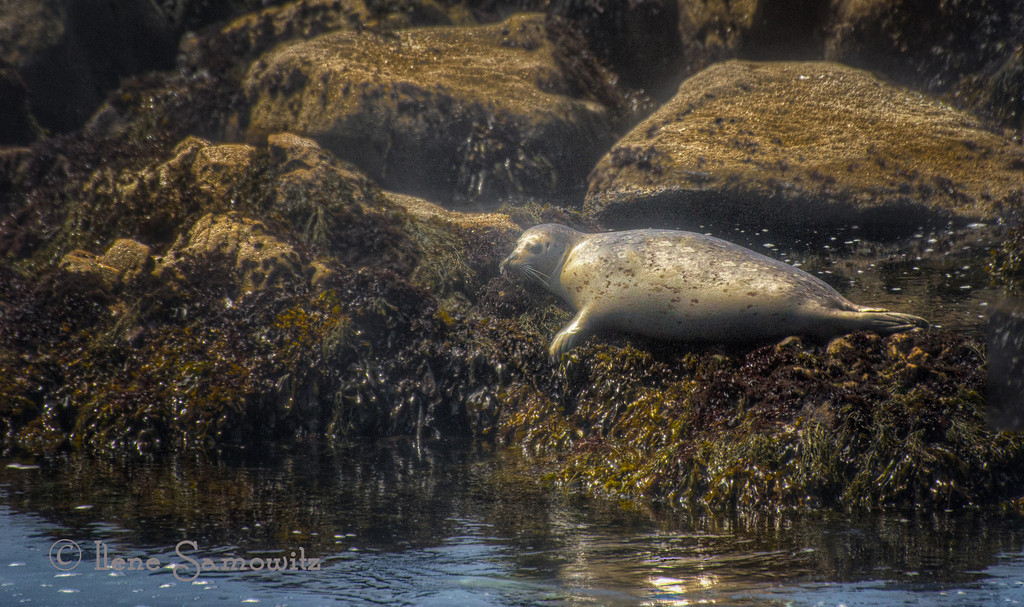 11-20-12 Seal at Salt Point State Park - This was an amazing place.   Wish we could have stayed longer but we are determined to visit again and camp there. <br /> <br /> Critiques Welcome.