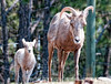 Mother bighorn sheep and baby; best viewed in the largest sizes