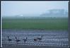 Gänse auf frischem Ackerland