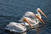 Three Pelicans on Lake Merritt, Oakland CA