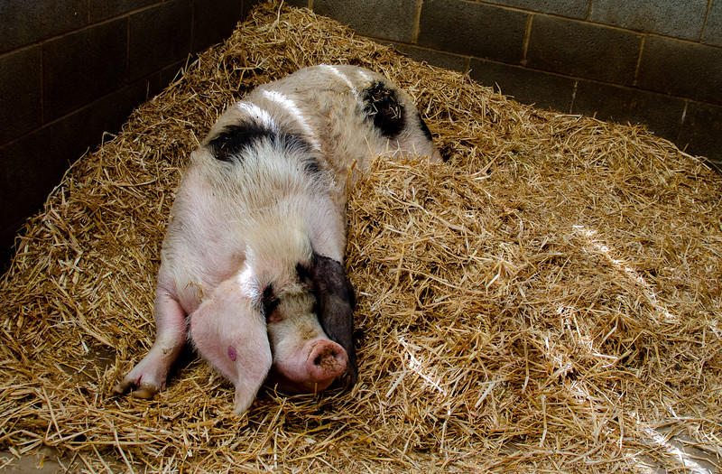 Pig resting on the hay