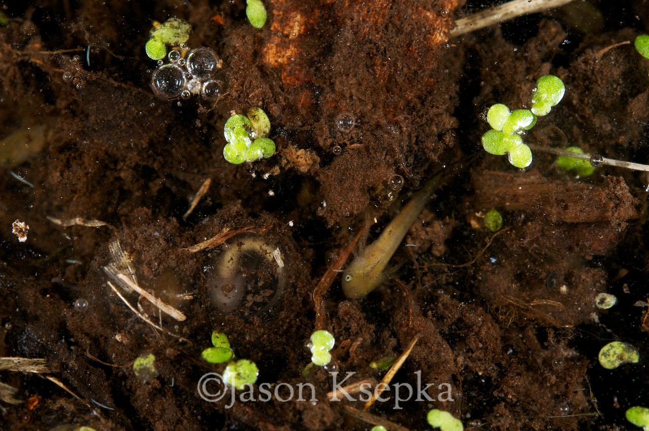 Ambystoma annulatum, Ringed Salamander, eggs hatching; Warren County, Daniel Boone Conservation Area, Warrenton, Missouri  2010-10-15  #7